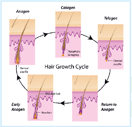 Hair Growth Chart